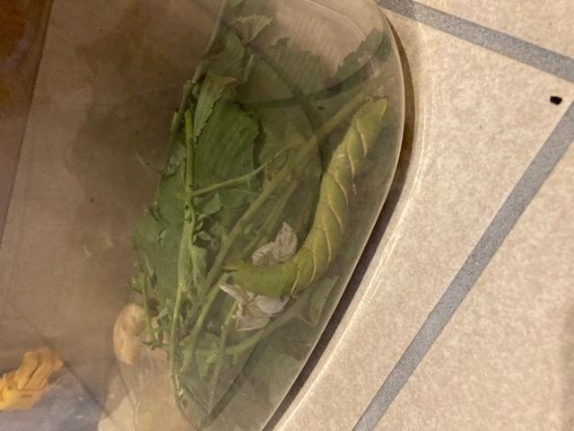 畑で見つけたのですが、これは何の幼虫でしょうか。息子が知りたがっています。