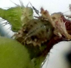 朝顔についていた虫です。 ゴミが動いているのでつっついてみたら、背中にゴミをしょっているようで中身は写真のような感じでした。 これはなんという虫でしょうか