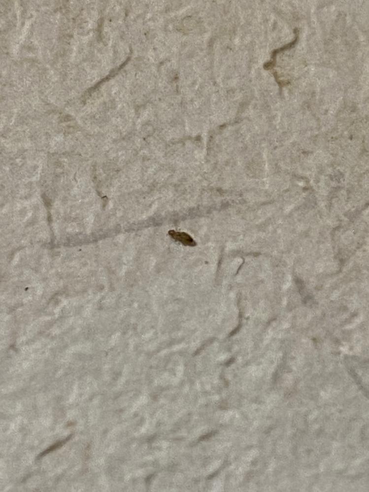 5月〜秋くらいにかけてトイレの壁に直径1~2mmほどの小さな虫が湧くようになるんですが、これはなんの虫でしょうか? そこそこ機敏に動いています。 その都度潰しているのですが、行くたびに1〜3匹ほど見かけて困っています。 駆除する方法や対策等などあれば教えていただきたいです。