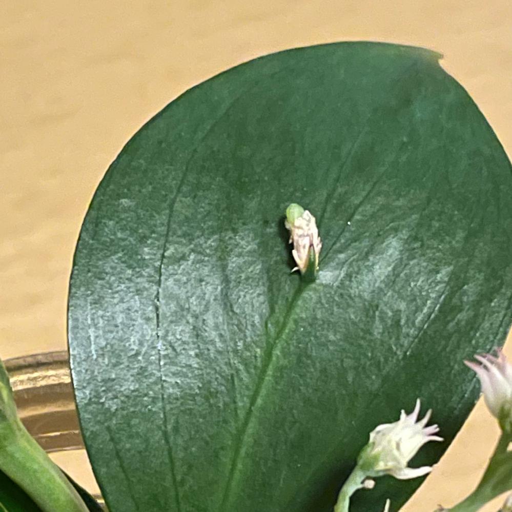 葉の名前 フラワーアレンジメントをいただきました。 葉になにか小さい白いものがついています。 取れなさそうです。これは一体なんでしょうか?