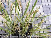 お世話になります。 バケツ稲栽培をしています。 稲が実ってきました。 台風で水が溜まったので捨てました。 新しい芽が出てるのですが、そのままでよいのでしょうか? コメント欄にも写真付けます。 お分かりになる方、アドバイスをよろしくお願いします。