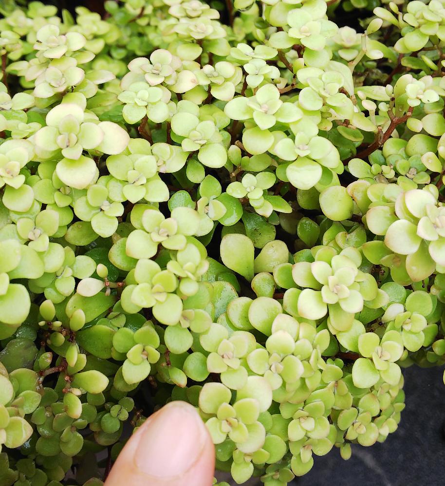 写真の植物の名前を教えてください。 多肉植物と思うのですが、厚みはそんなにないです。葉は小さく、黄色の小さな花が咲きます。地面をはうようによく増えます。
