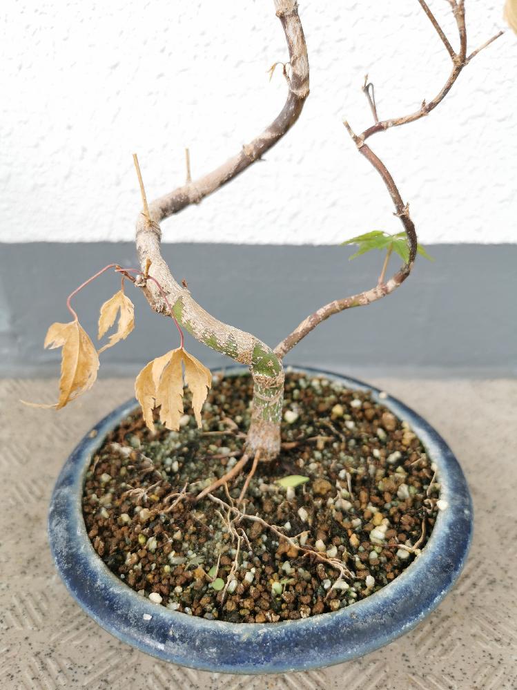 ミニ盆栽の紅葉の葉が枯れました。 ネットでいろいろ調べたのですが、どのような処置が適切なのか分からなかったので、どうすれば良いか教えていただきたいです。 買ってきたのは1ヶ月ほど前で、夏の日差し...