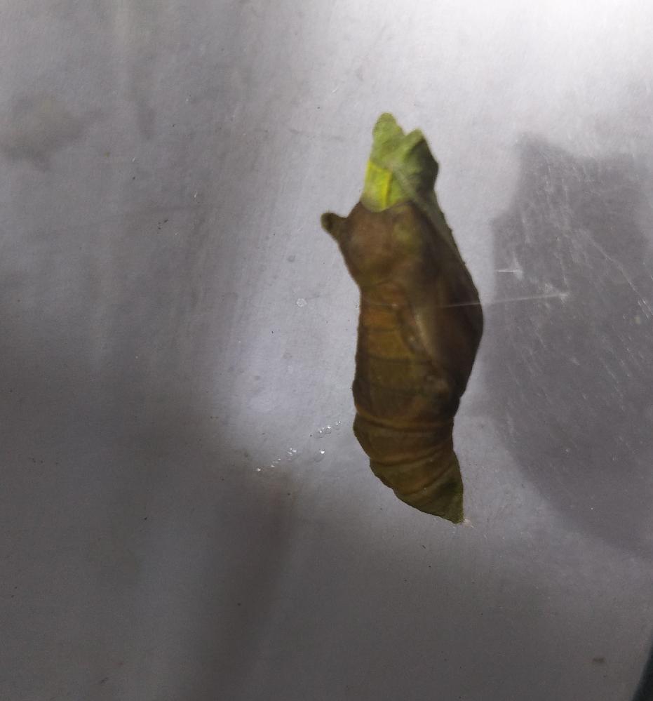 教えてください。 アゲハの幼虫だと思って育ててますが、 寄生されているか不安になってます。 ネットを見てもよくわかりません。 おわかりになれば、教えて下さい。