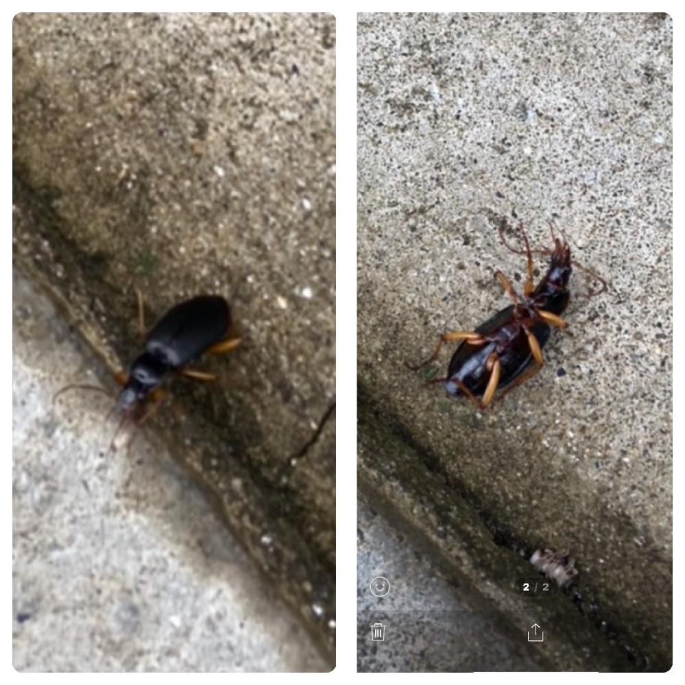 家にこの虫が出ました。 なんという虫でしょうか? 教えて下さい。