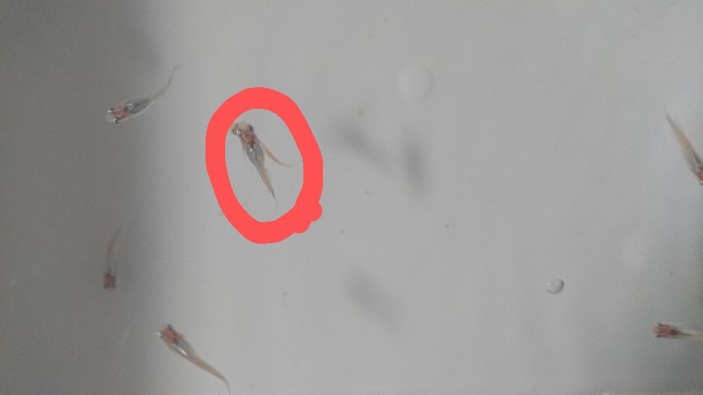 魔王メダカの若魚ですが、体が少し短くて半ダルマのような子がいます(赤い丸)。これは、半ダルマなのでしょうか? 高水温ではなく25.5℃~27℃くらいで飼っています。 普通体型と半ダルマの見分け方が分からないので、分かる方いましたら教えて下さい。