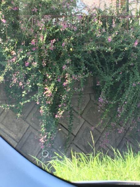 このフェンスからこぼれ垂れるような植物は何ですか?詳しい方、よろしくお願いします。
