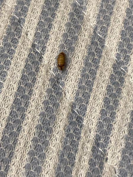 部屋にいましたこの虫はなんですか?