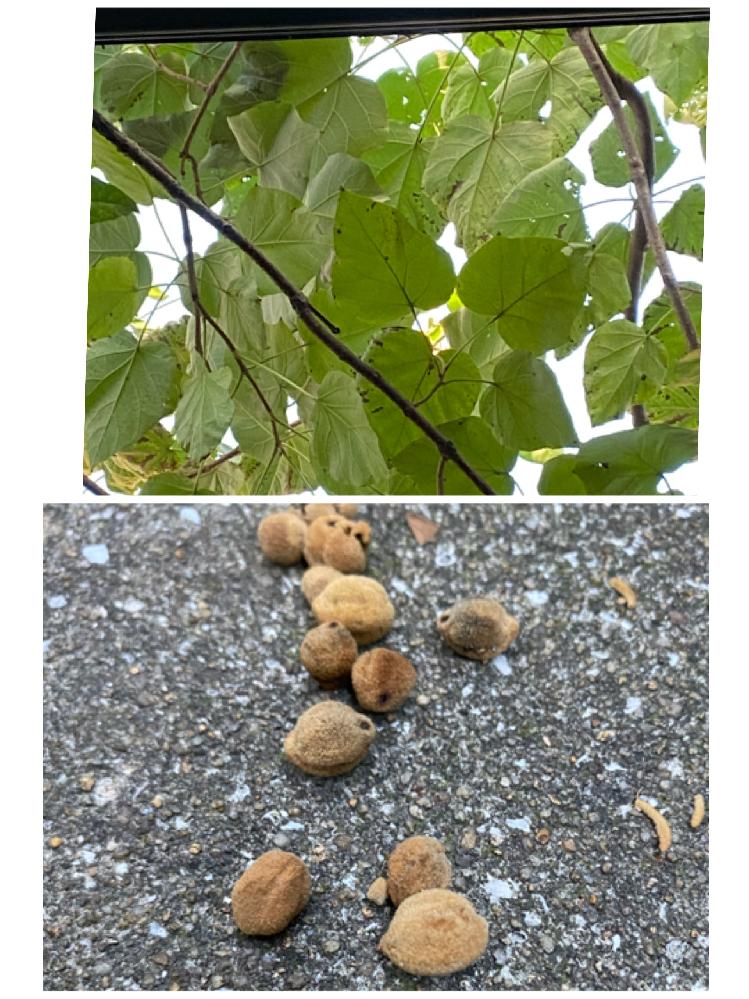 この木はなんて言う木でしょうか。 成長が早く3年くらいで二階家以上に成長しています。 落葉樹で葉はとても大きく 今時期大豆くらいのふわふわした茶色の種?がたくさん落ちてます。 ご存知の方教えてください。