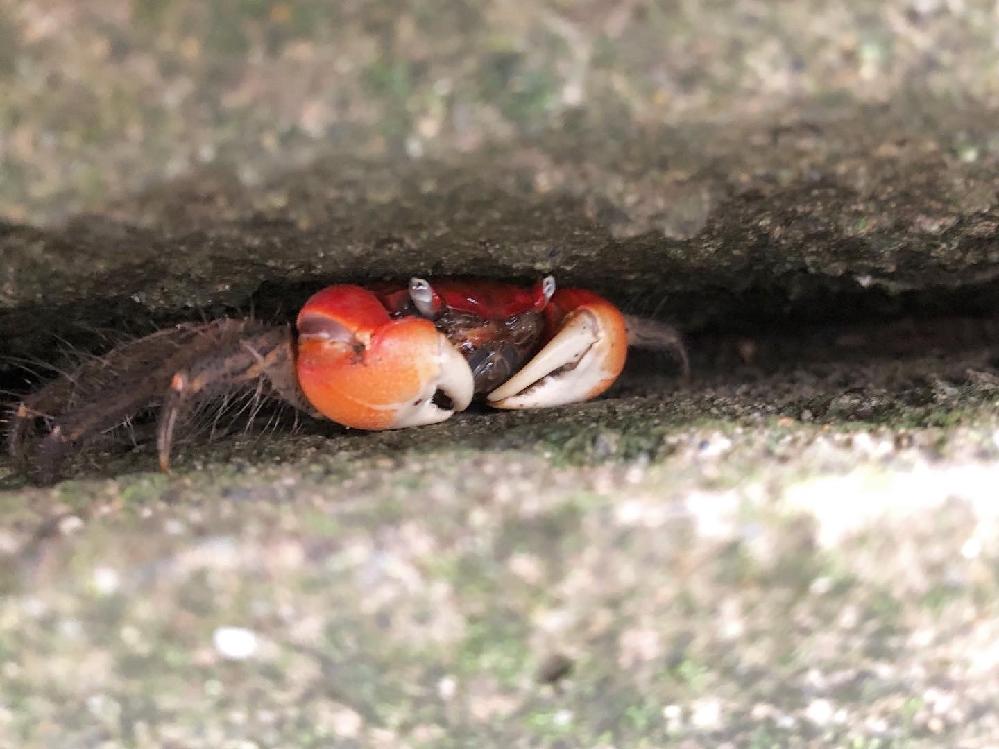 この蟹の名前をご存知の方がいらしたら教えて下さい。 足を除いた体の幅は3、4センチ程 東京と埼玉の県境の毛長川近くにいました。