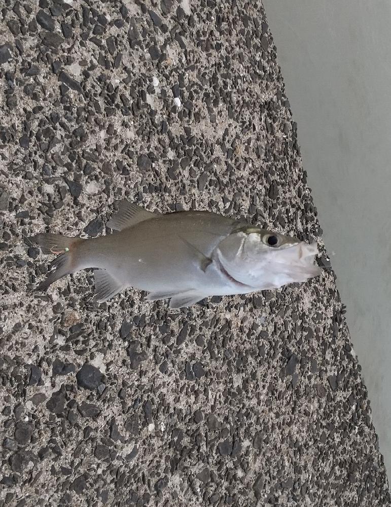 この魚は何という名前でしょうか。およそ1ヶ月前の8月に、佐賀県の松浦川河口で釣り上げました。ご回答をお願いします。