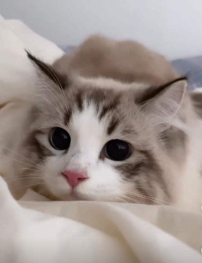 こちらの猫ちゃんの種類とカラー名がお分かりの方いらっしゃいますか? ラグドールだとは思うのですが、カラーな何に分類されるのか教えて頂きたいです。
