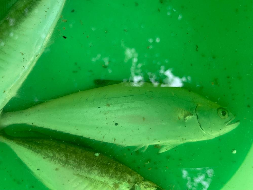 この魚は何ですか?
