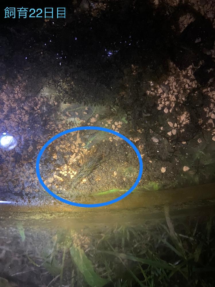 ザリガニの稚ガニを捕獲して、2回ほど脱皮27日程飼育しましたが、今日の朝亡くなっていました。 ゼオライトと、酸素の出る石を入れ、前日にソイル入れたのですが、 やはりソイルによる水質変化が原因でし...