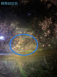 ザリガニの稚ガニを捕獲して、2回ほど脱皮27日程飼育しましたが、今日の朝亡くなっていました。 ゼオライトと、酸素の出る石を入れ、前日にソイル入れたのですが、 やはりソイルによる水質変化が原因でしょうか? もしくは酸欠?