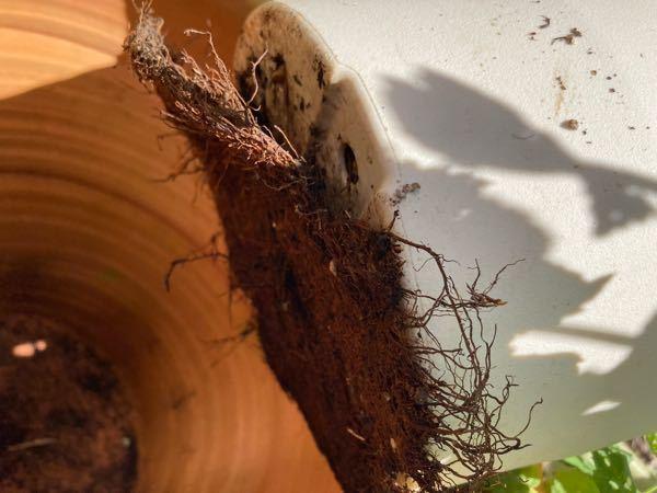イチジクです。 100均の鉢の為見た目と夏の暑さ対策の為に大きなテラコッタだか素焼きだかの鉢に入れて二重鉢にしていました。 さっき何となく出してみたら根が沢山鉢下の穴から出て根が回っていました。 鉢から出た根を切らないと引っこ抜くのは無理そうです。 今切ると枯れる可能性がありますよね。。 葉が落ちるまでこのままの状態でもいいのでしょうか、どちらにしても不安です。 すみませんが教えてください。
