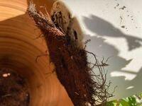 イチジクです。 100均の鉢の為見た目と夏の暑さ対策の為に大きなテラコッタだか素焼きだかの鉢に入れて二重鉢にしていました。   さっき何となく出してみたら根が沢山鉢下の穴から出て根が回っていました。  鉢から出た根を切らないと引っこ抜くのは無理そうです。 今切ると枯れる可能性がありますよね。。  葉が落ちるまでこのままの状態でもいいのでしょうか、どちらにしても不安です。  すみませんが教えて...