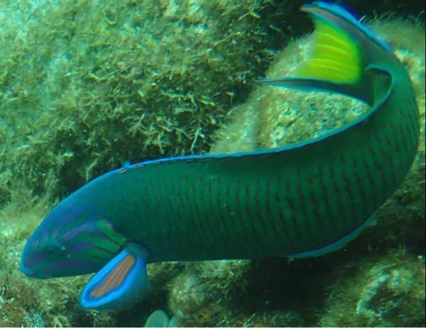 胸びれが青と赤で、尾びれが黄色いこの魚はなんですか?