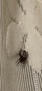 家にいたのですが、これって何という蜘蛛ですか?