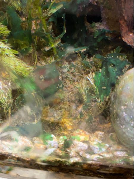 淡水魚水槽の緑色のコケ対策に一番良いのはなんですかり 貝も食べてくれません オキシドール?