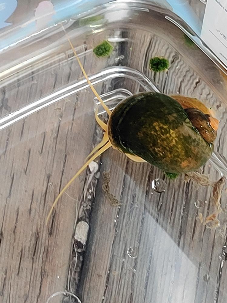 この貝はなんですか? ジャンボタニシのアルビノですか? 田んぼで捕まえました。