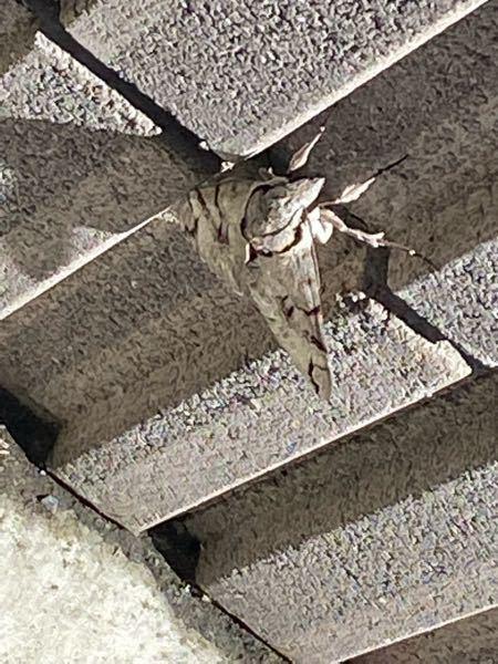 この蛾はなんという種類の蛾ですか? 見えづらくてすみません、白に黒の模様がついている蛾です。日常目にする蛾よりだいぶ大きめに見えました。 なんという種類の蛾なのでしょう?