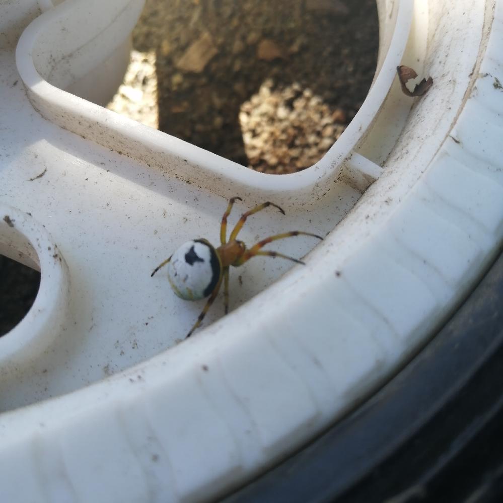 写真の蜘蛛の名前を教えて下さい。 今日、公園で見つけました。 初めて見る蜘蛛で『蜘蛛 白 丸』で画像検索しましたが分かりませんでした。 ご存じの方がいらっしゃいましたら、お教え頂けたら幸いです。 宜しくお願い致します。