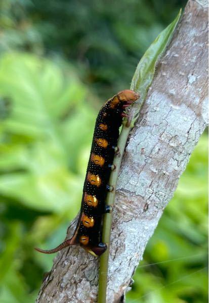 ※虫が苦手な方は閲覧注意です! スズメガの幼虫を見つけたのですが 初めて見る種類でした。 この写真のスズメガの種類分かる方いらっしゃいませんか? イモムシハンドブックでは探しても見つかりませんでした ちなみに地域は沖縄です。