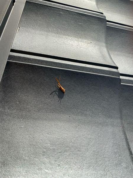 家の屋根で死んでいたのですがこれってゴキブリですよね?少し前にコオロギが大量発生していたのでコオロギでしょうか...最近ゴキブリを家でも見かけるようになったので本当に気持ち悪くて困っています