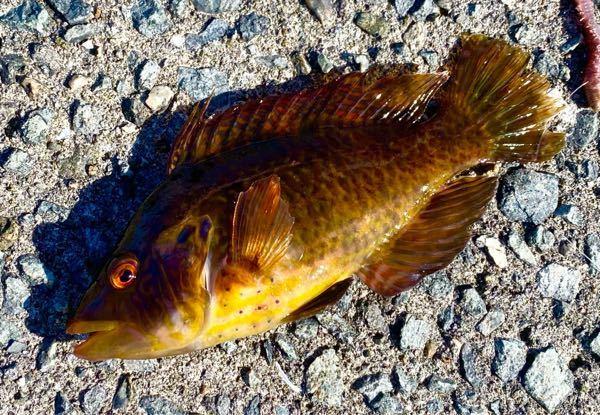 この魚の名前教えてください!