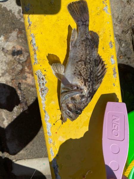 この魚は何ですか? メバルですか? 20cmほどです。