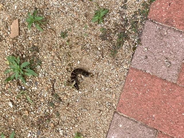 自宅の庭に変な虫がいて困っています。 何という虫かご存知の方は教えて頂きたいです。また、毒などがあるかも気になります。