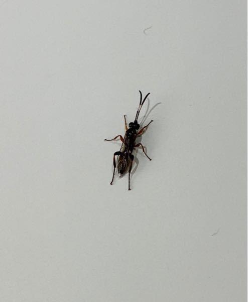 この虫の名前を教えてください。 体長1cm(触角いれると2cm弱)です。