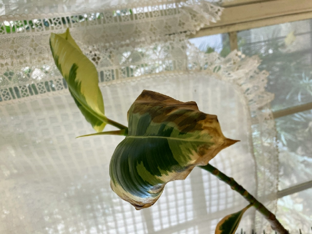 出窓に置いているゴムの木の葉が、次から次へと焼けたように茶色くなってしまいます。新芽はどんどん出てくるのですが…。 茶色くなった葉は、自然に落ちる時もありますが、大体カットしています。 茶色くなるのを防ぐにはどのようにしたら良いのでしょうか?