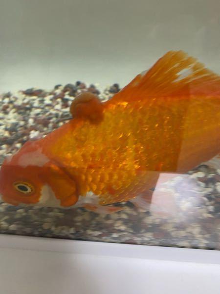 金魚の頭にあるこのコブなんですか?