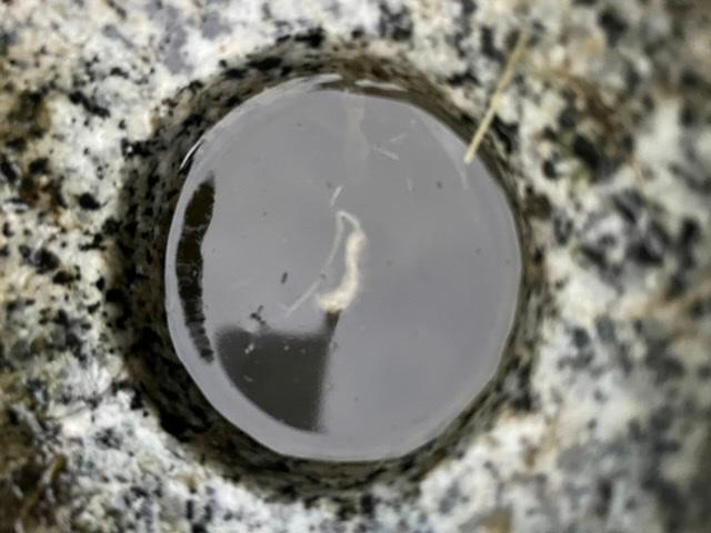 これは何の虫でしょうか? 水の中では活発です。