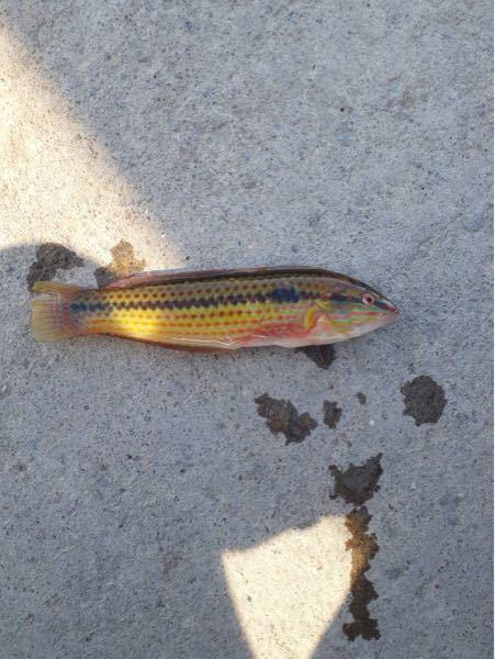この魚はなんですか? 青森の海で釣れたらしいんですが