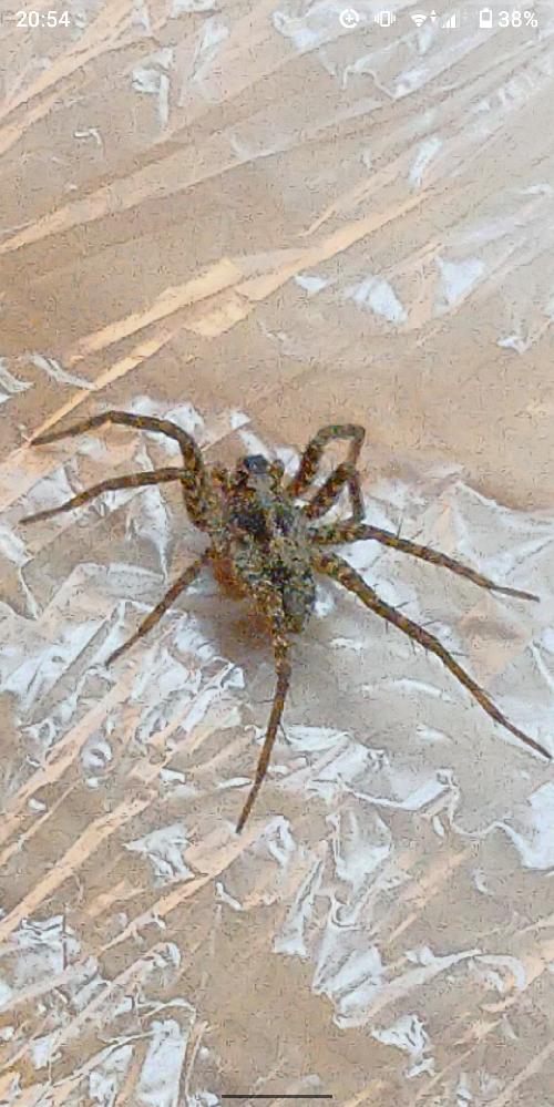 自宅庭にてアシナガグモを探していて捕獲しましたが、この蜘蛛がアシナガか判断できません!どなたかこの蜘蛛の種類を教えていただけませんか? 回答よろしくお願いします。