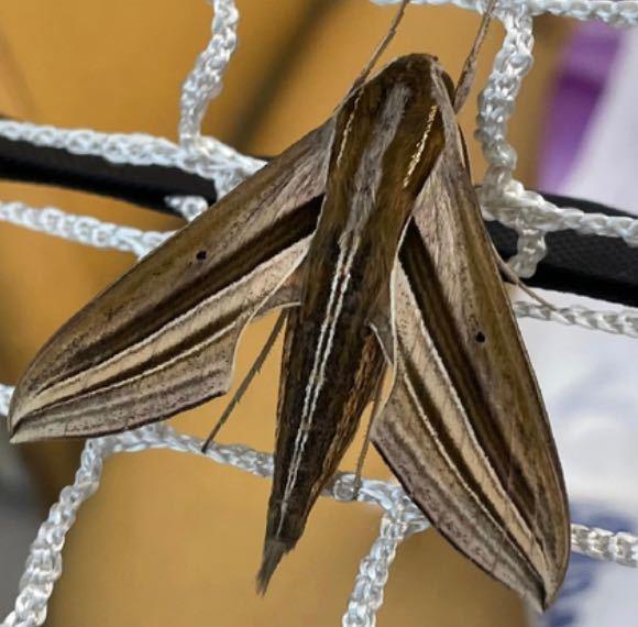 蛾のような長さ約4、5cmほどの物が止まっていますが、動いていません これは、蛾でしょうか? 至急よろしくお願いしますm(_ _)m