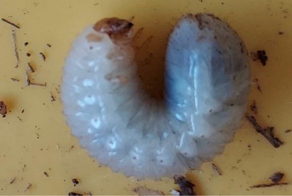 【至急】これは何の幼虫ですか?ミヤマクワガタをいれていた腐葉土の中にいました。