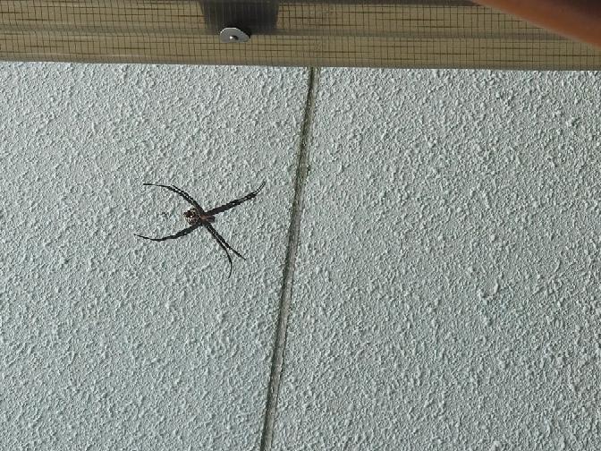 これはなんという蜘蛛でしょうか? 場所は四国で、子供の手くらいの大きさです。