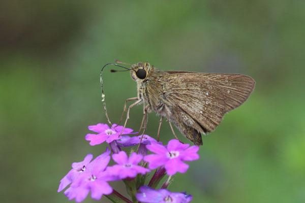 昨日、北九州市の郊外を散歩中に見た蝶と花です。蝶と花の両方を教えて下さい。 2つあります。2つ目です。これは蝶ではなく蛾でしょうか?花の名前とともに教えて下さい