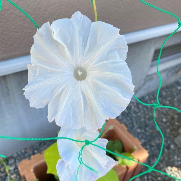 頂き物の種から、予想外の朝顔が咲きました。 こちらの朝顔はなんていう名前かわかる方教えてくださいm(_ _)m
