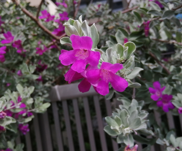 白っぽい葉っぱで濃いピンクの花が咲いた木を見付けました。 何と言う植物かご存知の方がいらっしゃいましたらお教え下さい!