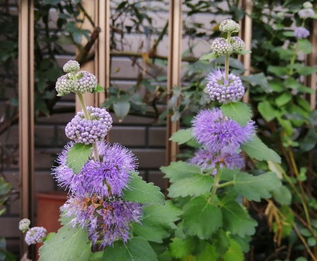 とても面白い花を見付けました。何と言う植物かご存知の方がいらっしゃいましたらお教え下さい!