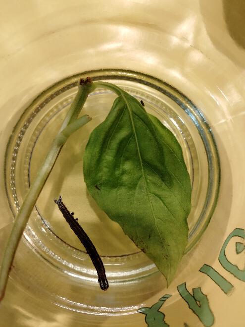 これは何の幼虫ですか? バジルの葉っぱを取ってたら落ちてきました。今バジルあげてるんですが、食べてません。何をあげたらいいですか?