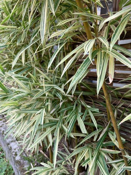 園芸品種の竹と思います。 品種をおしえてください。 また、プランターで栽培できますか?
