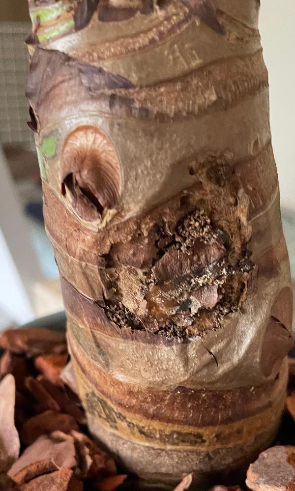 【写真あり】 先週クワズイモをホームセンターで買ったのですが、よく見ると茎?の部分が画像のようになっています。 これは腐っているのでしょうか…?