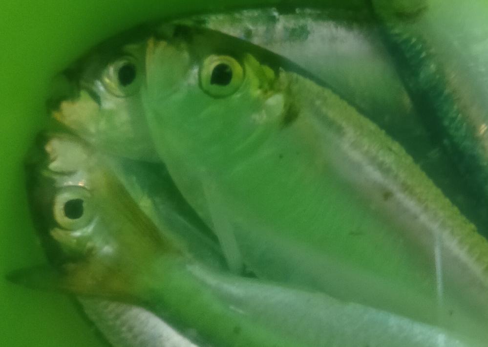 西宮浜て釣れた魚です。なんという魚か教えて頂けませんでしょうか?