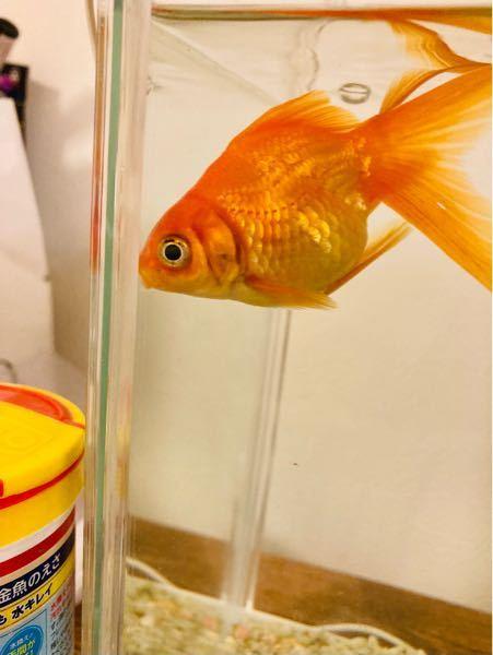 金魚のエラが黒いです。病気ですか?見ずらくてすみません。ちなみに尾びれにも黒い線のようなものがあります。治療法を教えてください。